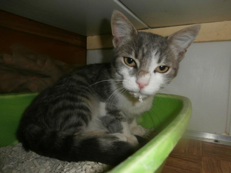 COPAIN (chaton gris et blanc) 989238P9053416