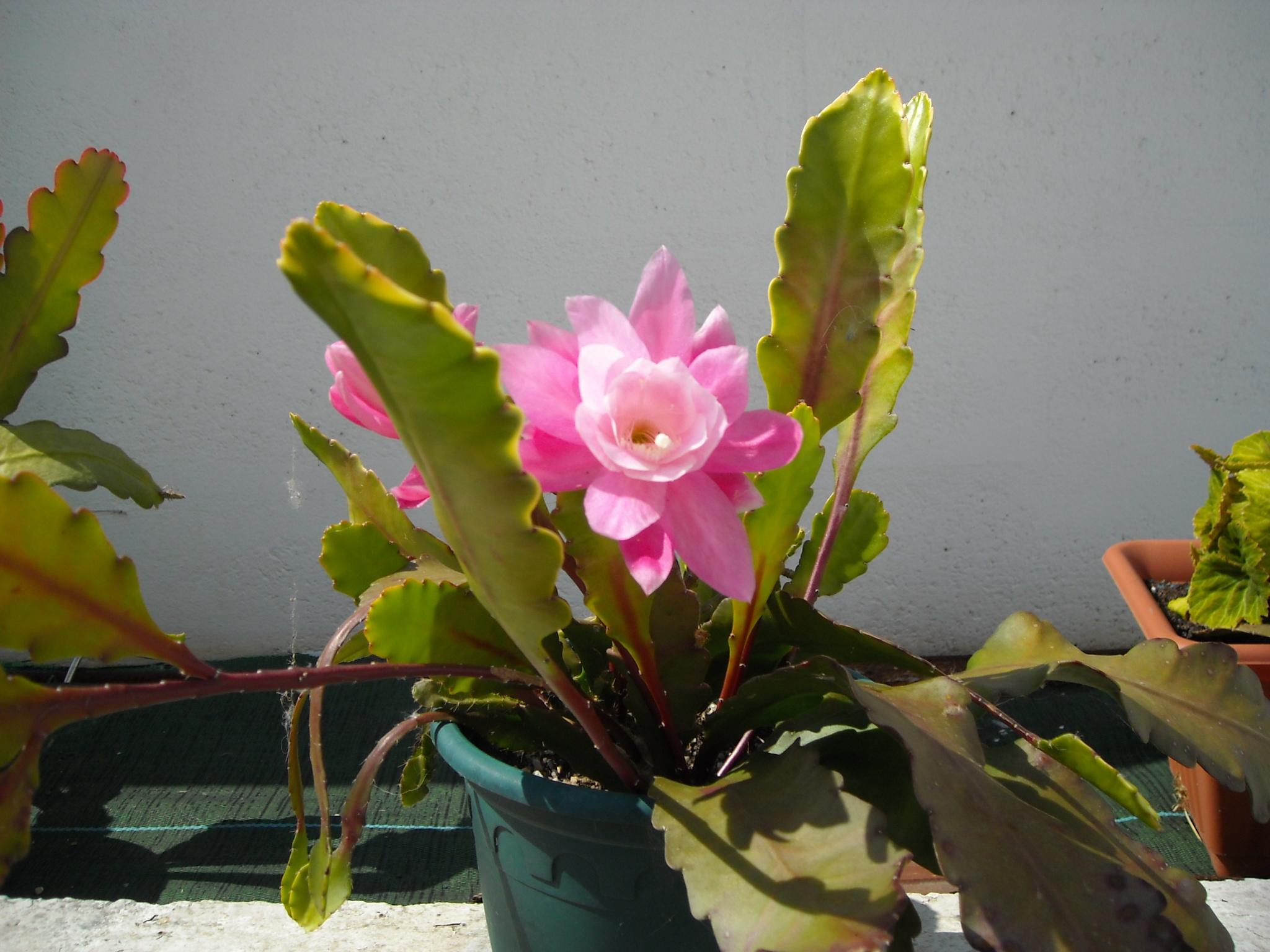 cactus  épiphyte 989668disocactusrose001