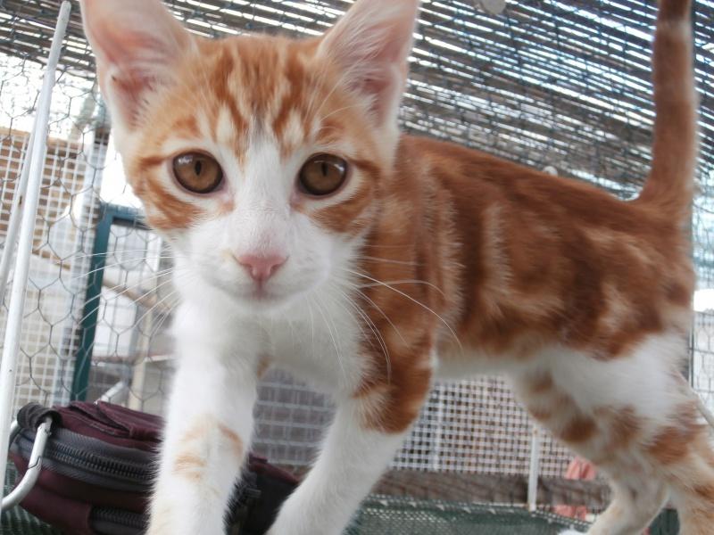 GATO (chaton mâle roux et blanc) 989792P8161589