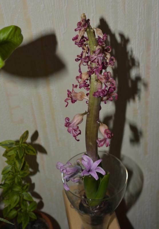Hyacinthus orientalis - jacinthe - Page 2 995009jacinthe2