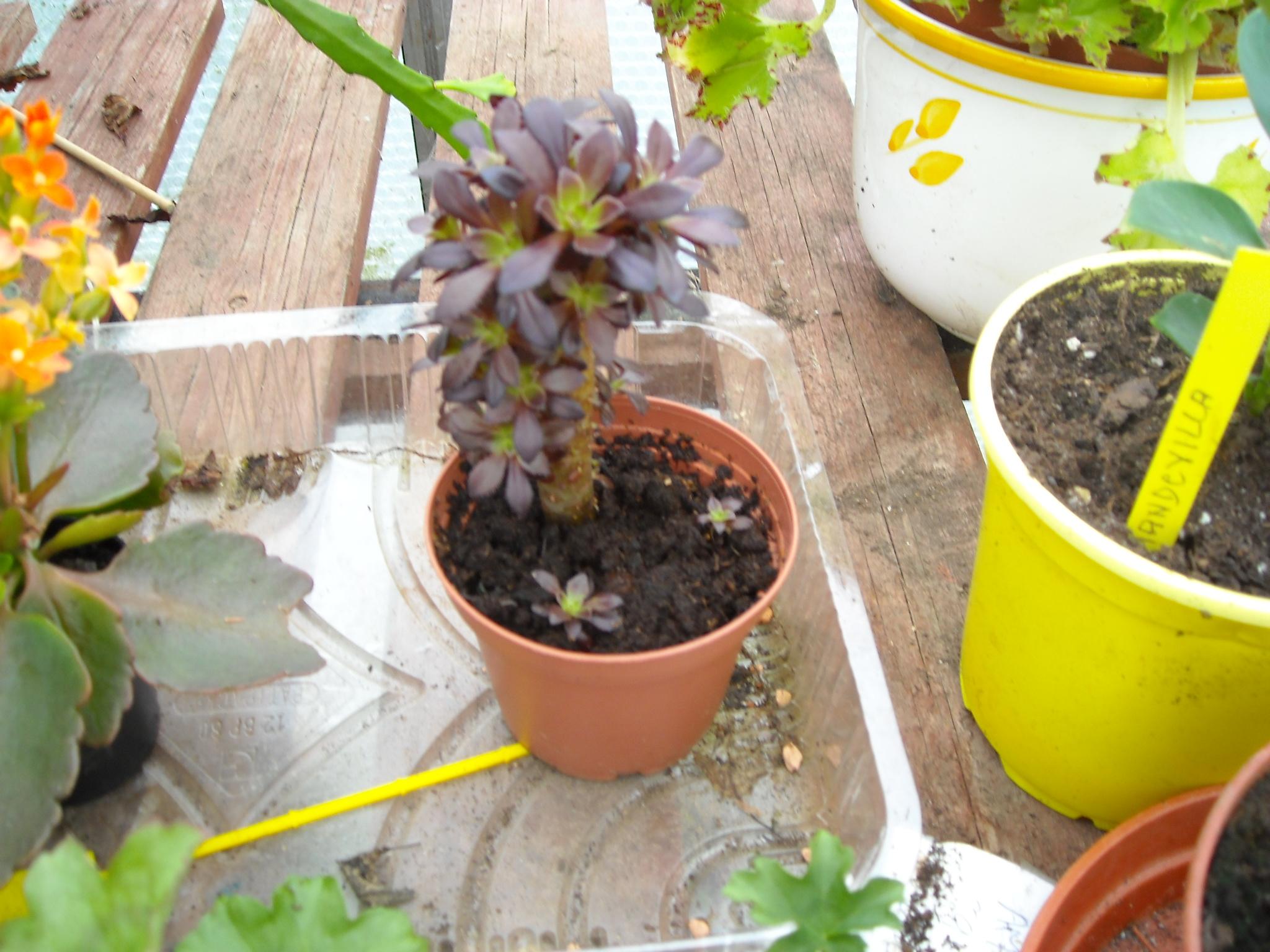 aeonium arboreum schwarzkopf 995061imagedelaserre003