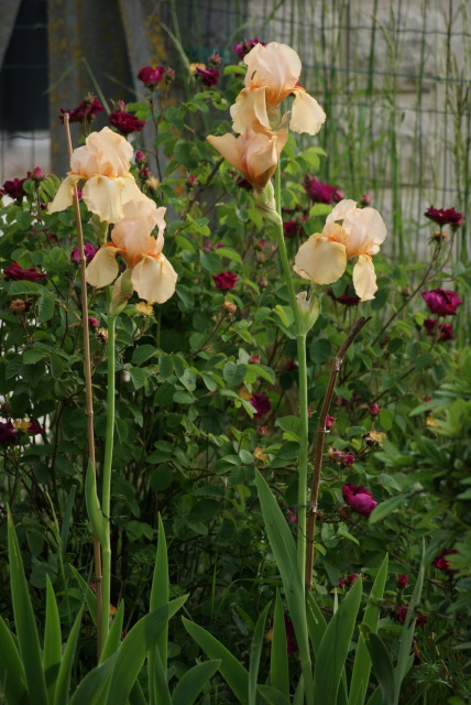 Associer nos iris à d'autres plantes pour de beaux massifs - Page 2 997748047