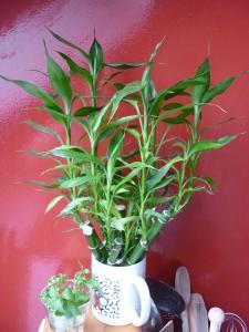 infos lucky bambou Mini_154151P1030097