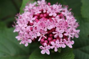 Floraisons du mois de juillet - Page 12 Mini_203516Clerodendron
