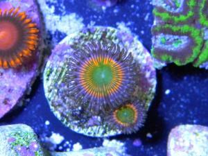 zoanthus ultra color Mini_2130095879526452a7edaa6241