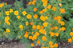 Floraisons du mois de juillet - Page 12 Mini_240835Petitoeuilletdinde