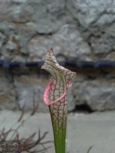 Variations - Sarracenia leucophylla var. alba (L09MK) Mini_280490leucoalba