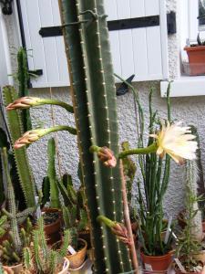 CEREUS   PERUVIANUS  en fleurs Mini_285834Juill2011393