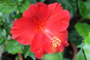 Floraisons du mois de juillet - Page 12 Mini_287390Hibiscus