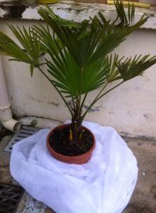 Planter Trachycarpus wagnerianus de 100 cm en Hivert Mini_29015810411725101529141471891546587125358916081468n