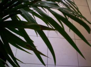 Bout des feuilles d'un areca noircies Mini_3166341000520