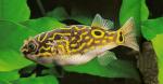 poissons osseux