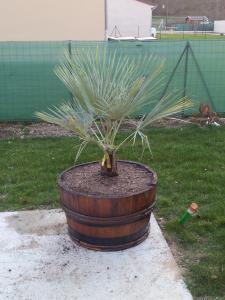 identification palmier Mini_37749820120322183341