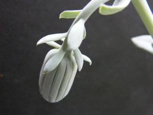SENECIO SEMPERVIVUS ssp grantii Mini_385277Oct2011065
