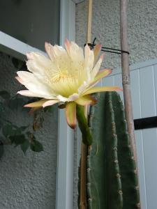 CEREUS   PERUVIANUS  en fleurs Mini_398810Juill2011392