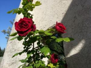 le royaume des rosiers...Vive la Rose ! - Page 14 Mini_401661Papameilland