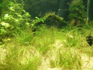90L Boraras Urophtalmoïdes & Tiger Tangerine Mini_413196IMG20150929154912