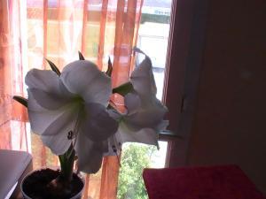 quelle sorte d'amaryllis Mini_459990PIC0427