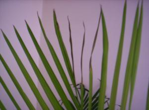 Bout des feuilles d'un areca noircies Mini_4918881000521