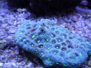 Plerogyra sinuosa, favites, Acanthastrea lordhowensis Mini_596750SAM4104