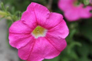 Floraisons du mois de juillet - Page 12 Mini_653710Petunia