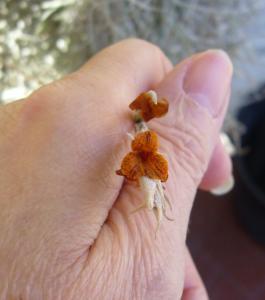 Tillandsia Caliginosa (ou Crocata var Tristis) - Màj Mini_708399P1040467