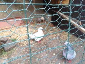 Espace accouplement pigeon Mini_721742IMG2354