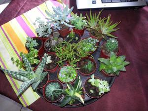 echeveria agavoides et echveria cultivars Mini_783575derniere252