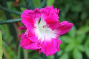Floraisons du mois de juillet - Page 12 Mini_804540Ipome