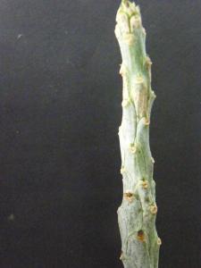 EUPHORBIA  ......QUI ?  15 jours + tard : PHOTO  (Euphorbia bubalina ) Mini_804772Aout2011001