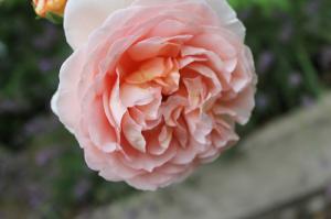 Floraisons du mois de juillet - Page 12 Mini_806821IMG3316