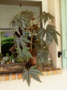 Bégonia platanifolia ou non ? Mini_820108Bgogryphon001