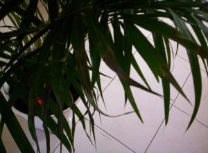 Bout des feuilles d'un areca noircies Mini_8409631000519