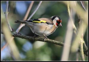 Oiseaux ...  (Staffilou) Mini_856937IMG61770