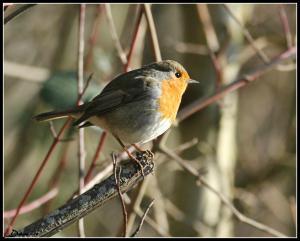 Oiseaux ...  (Staffilou) Mini_869127IMG62010