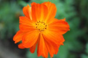 Floraisons du mois de juillet - Page 12 Mini_877075Cosmossulfureux