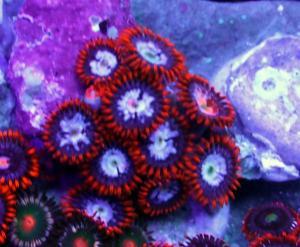 zoanthus ultra color Mini_916662P1050567