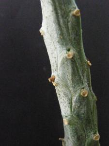 EUPHORBIA  ......QUI ?  15 jours + tard : PHOTO  (Euphorbia bubalina ) Mini_939688Aout2011002