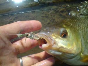 les autres poissons a la mouche  Mini_951406DSC00563