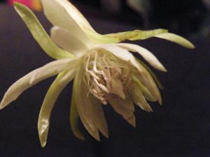 [Epiphyllum phyllanthus var. guatemalense monstruosa]un tortueux à identifier siouplait! Mini_994233Mai2011252