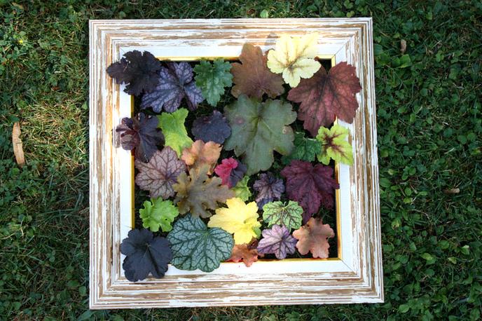 étoile - jardingue - Page 2 115826heucheresicom1344179085