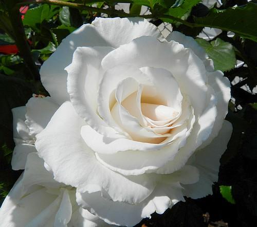 Mes fleurs en ce moment  123697Fleurs009