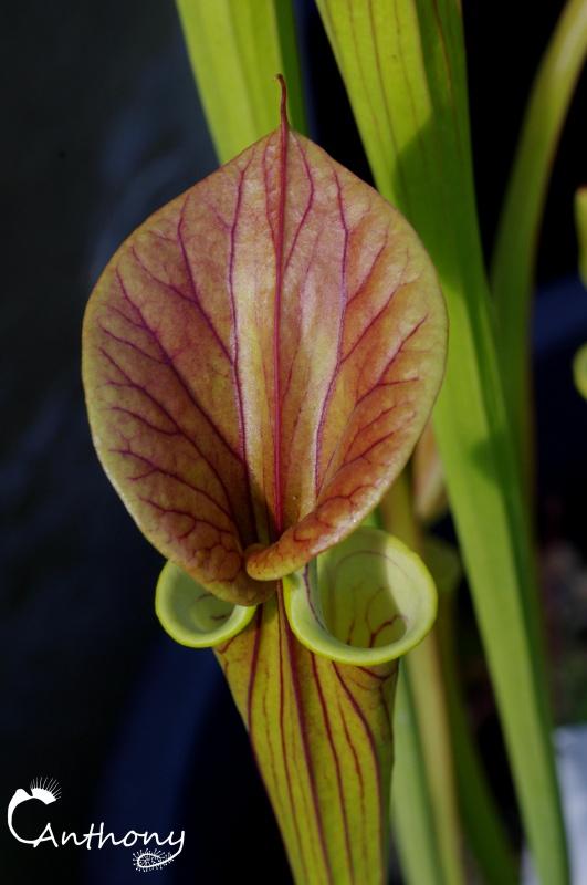 Quelques Sarracenia 125013IMGP5007