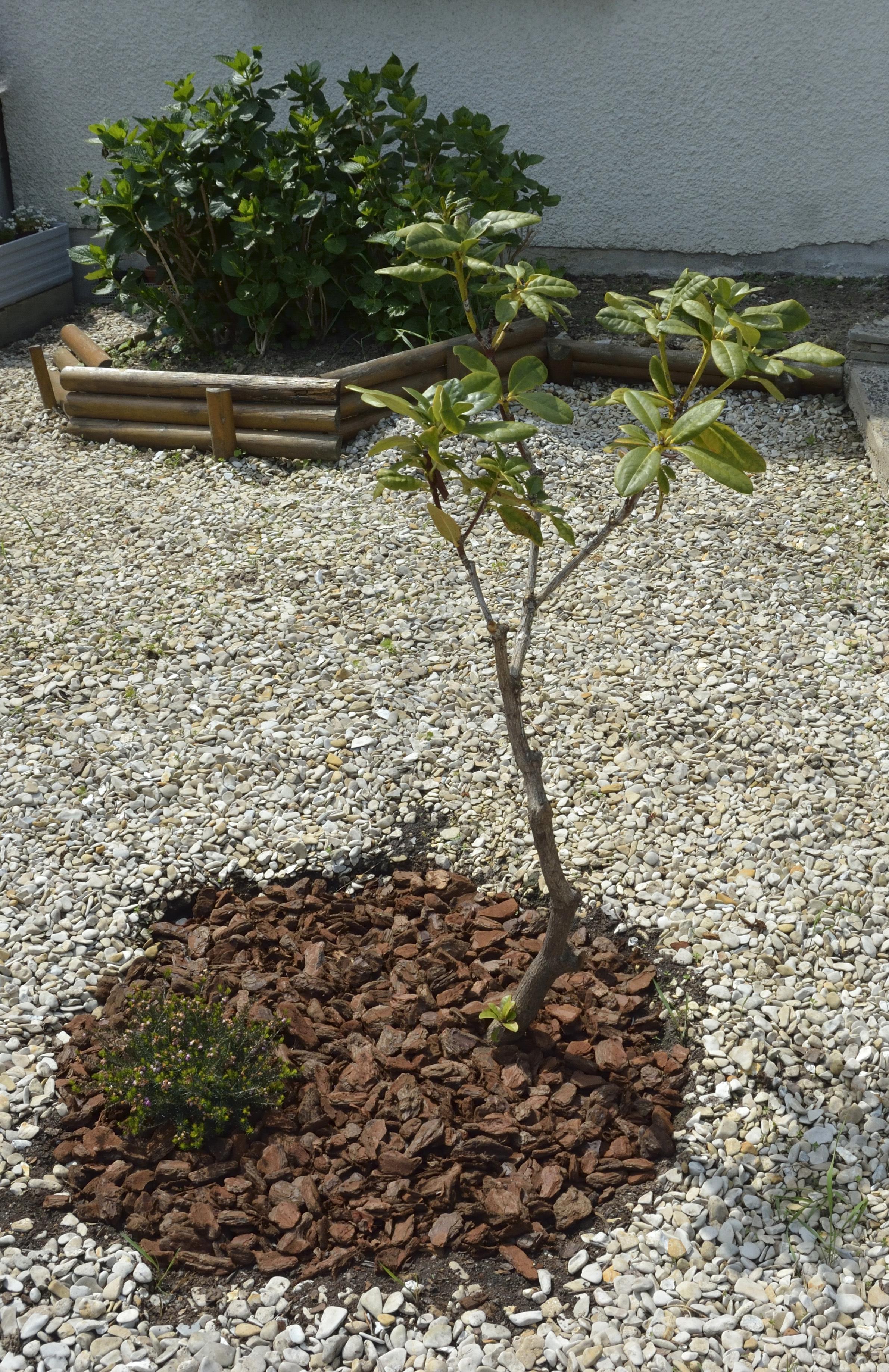 sauvetage d'un Rhododendron 125331DSC2119