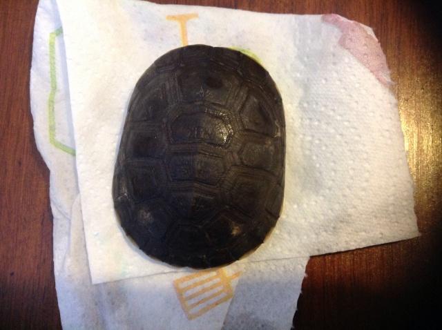 Urgent!!! Ma tortue juvénile pelomedusa subrufa commence a avoir de tâches blanche 125553image324