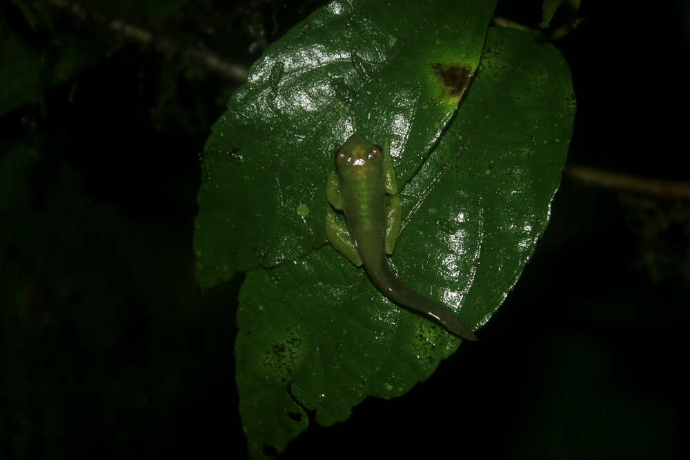 15 jours dans la jungle du Costa Rica - Page 2 126797teratohyla3r