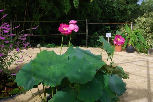 (47) Latour-Marliac, jardin de nénuphars - Le Temple-sur-Lot 132821DSC4920