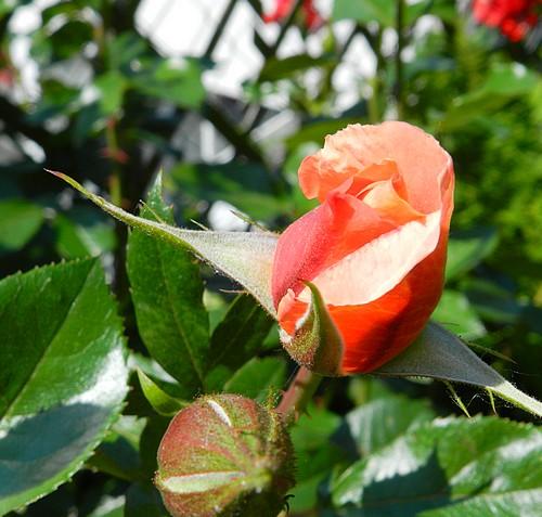 Mes fleurs en ce moment  135735Fleurs018