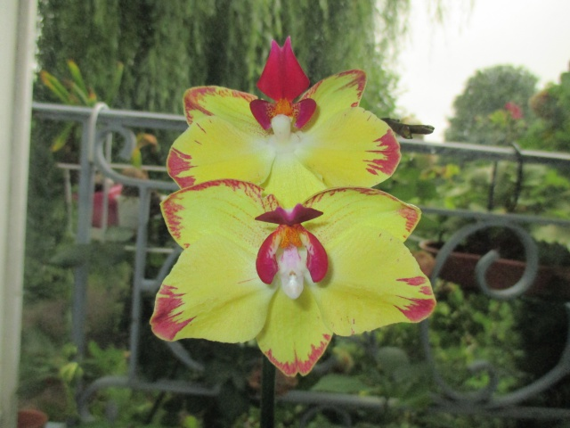 Phalaenopsis Papagayo 143334IMG7328