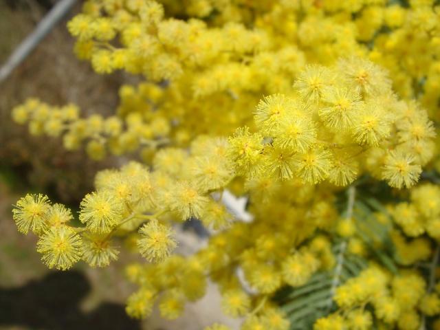 ça commence a fleurir...(Mimosa, Acacia dealbata) - Page 5 145068DSC05257